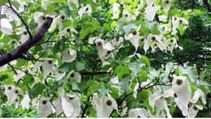 Mendil Ağacı Yağı Nedir ? Faydaları Nelerdir ?