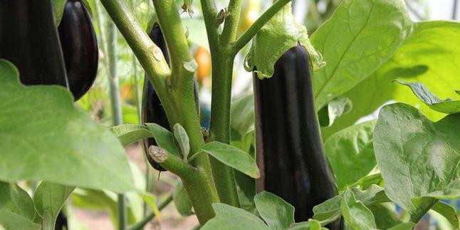 Patlıcan Sapı ile Bitkisel Hemoroit Tedavisi