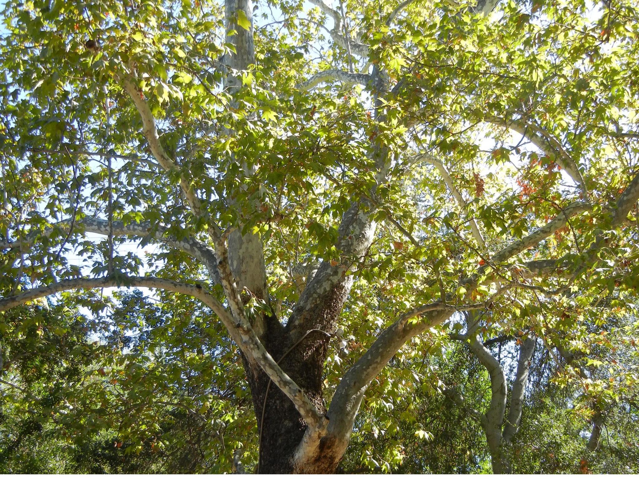 Çınar Ağacı Yaprağının Faydaları