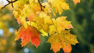 Çınar Yaprağı Faydaları Nedir ? Nasıl Kullanılır ?