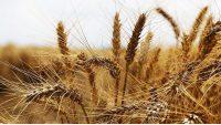 Buğday Yağı ile Cilt, Saç ve Gözaltı Bakımınızı yapın !