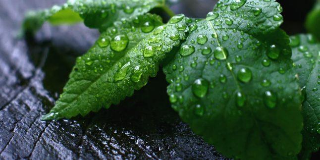 Nane Yağının Faydaları nelerdir ? Nasıl kullanılır ?