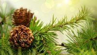 Çam Terebentin Yağı Nasıl Kullanılır ? Faydaları Neler ?