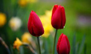 Lale renkleri, anlamları ve hediye edilme nedenleri